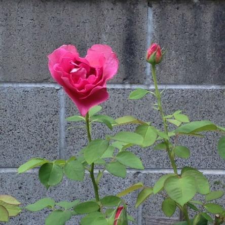 SOL heart of rose